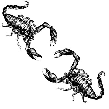 Two scorpions kissing